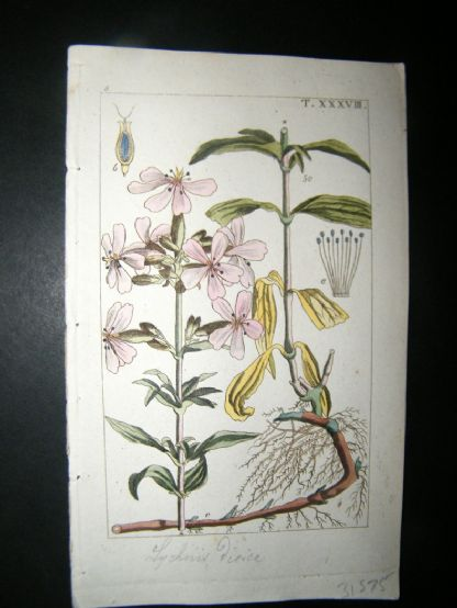 Wilhelm C1810 H/Col Botanical Print. Lychnis Dioica 8-38 | Albion Prints